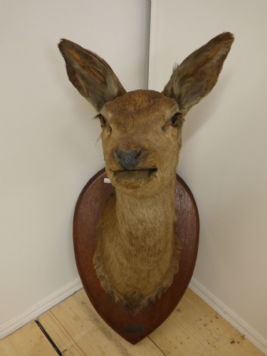 Large Taxidermy Deer Head